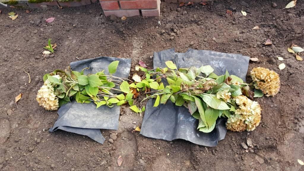 Как вырастить гортензию и надо ли укрывать ее на зиму