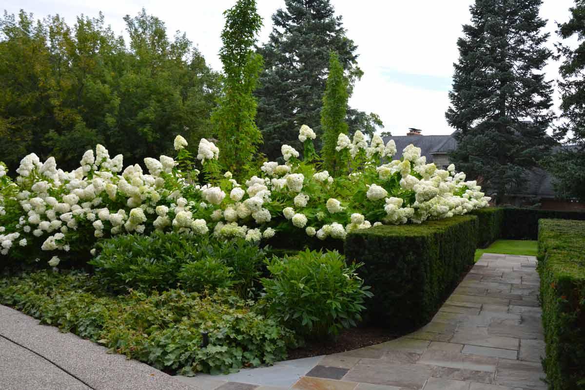 Гортензия садовая — посадка и уход в открытом грунте на урале