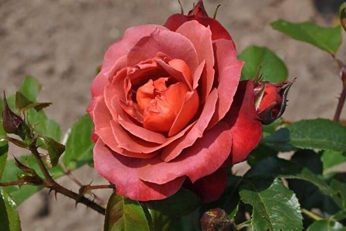 Роза хот кокоа энциклопедия роз