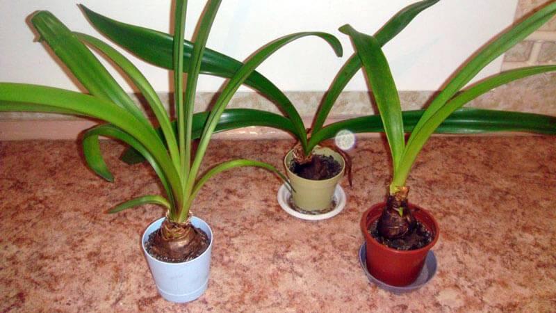 Цветок амариллис: уход в домашних условиях, фото и посадка амариллиса, домашний амариллис зимой