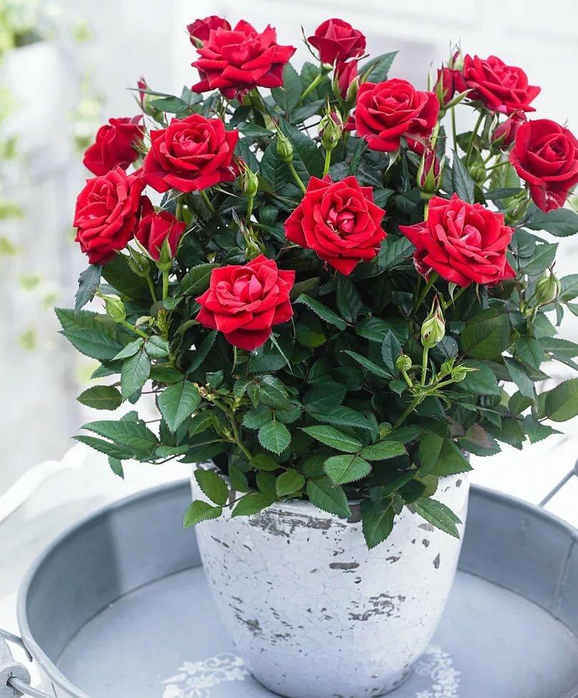 Уход в домашних условиях за розой комнатной: как правильно ухаживать за ней, почему цветок в горшке сбрасывает листья, а также нюансы выращивания, фото