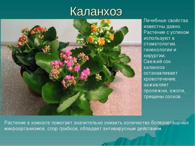 Каланхоэ — лечебные свойства, применение и рецепты