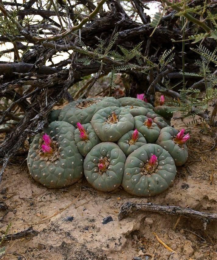Кактус Lophophora Williamsii — посадка и уход дома
