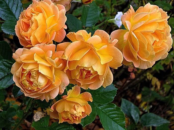 Роза флорибунда goldelse (голдэлс) - описание сорта, преимущества, особенности выращивания   о розе