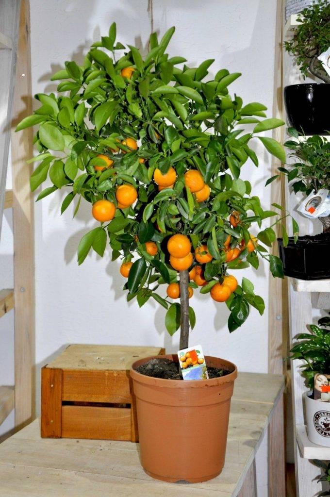 Правила ухода за домашним мандариновым деревом
