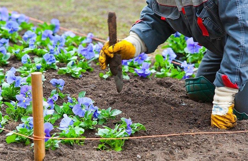 Фиалка садовая многолетняя в открытом грунте