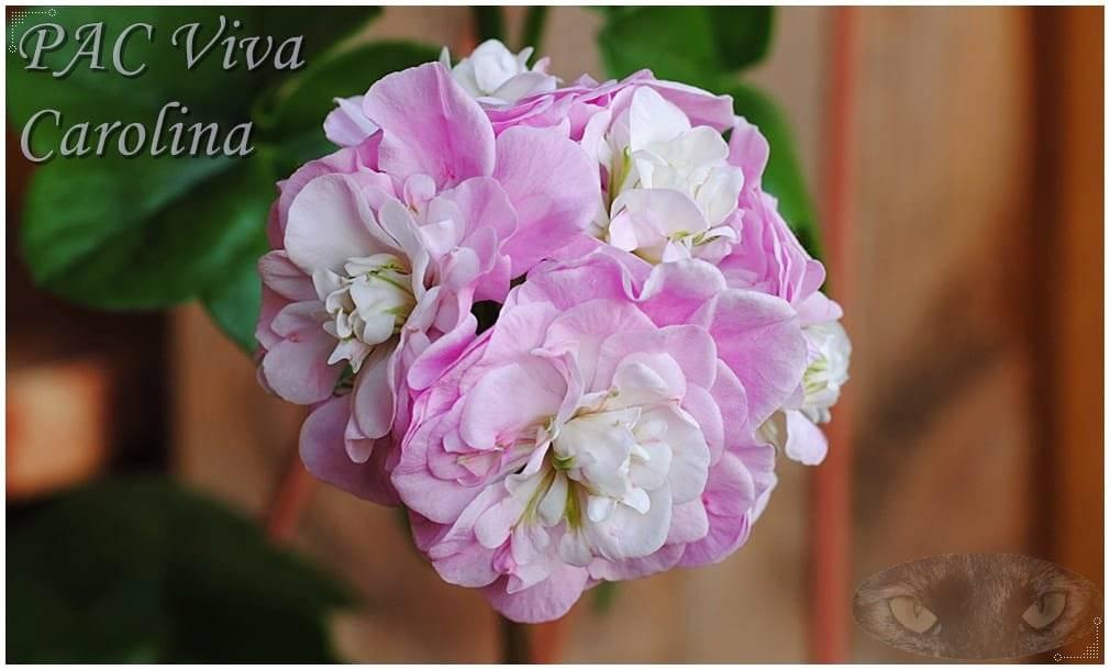 Пеларгония pac viva carolina — описание, посадка и уход