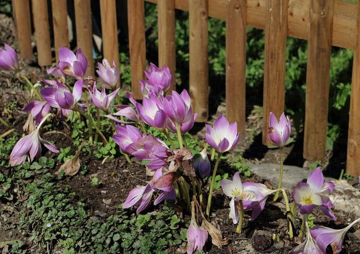 Безвременник в саду: полезные свойства и сорта с фото