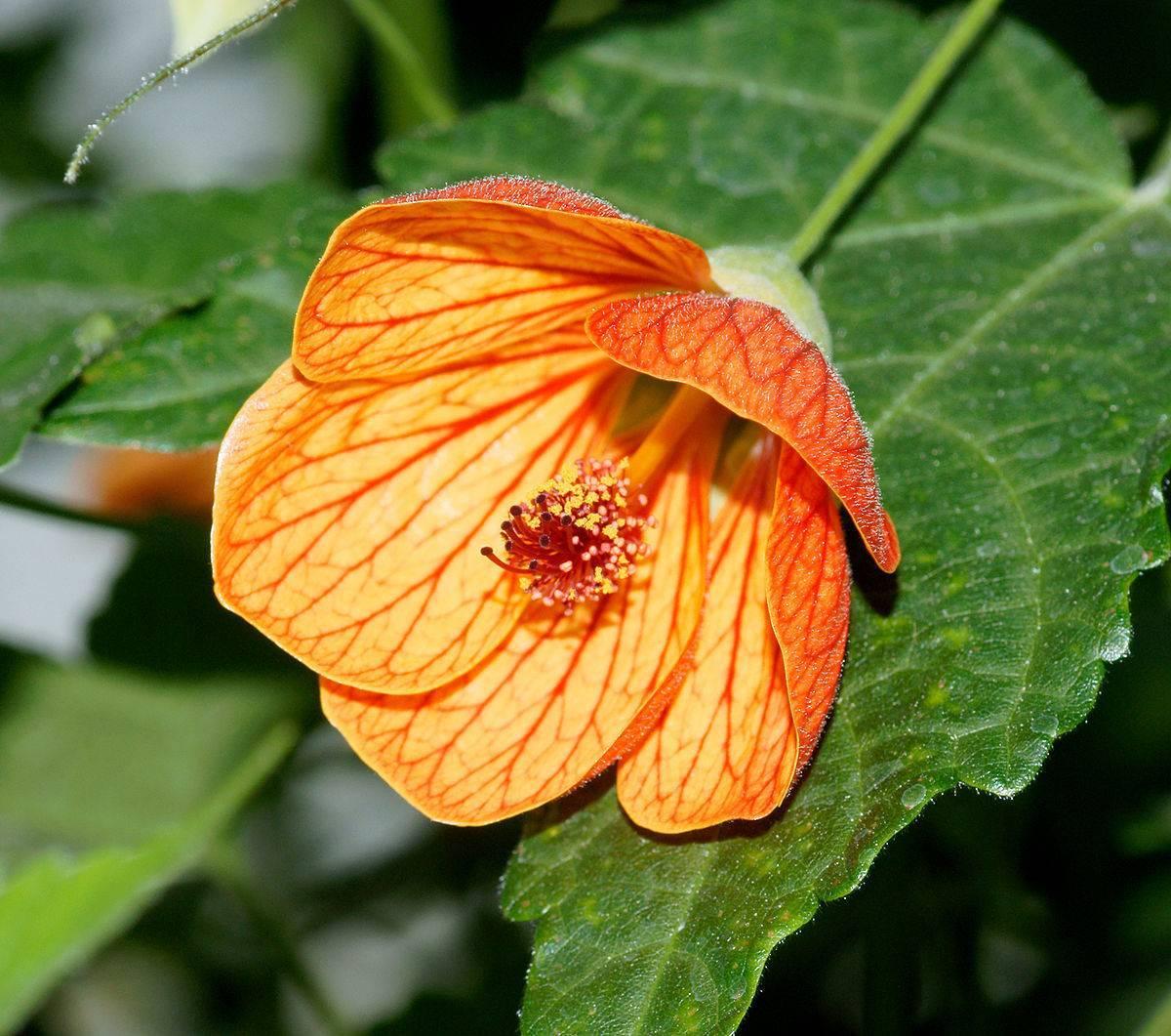 Клен цветущий или абутилон полосатый: комнатное растение с листьями как у клена