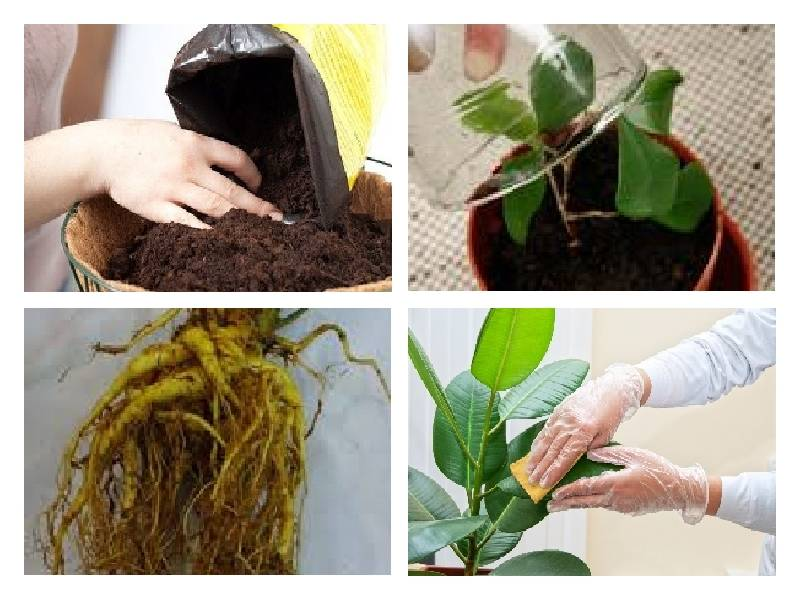 Диффенбахия: как цветет, чем подкармливать, уход в домашних условиях, приметы