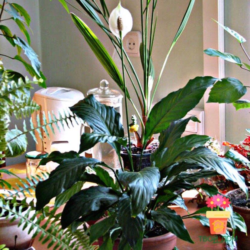 Цветок спатифиллум: выращивание и уход в домашних условиях