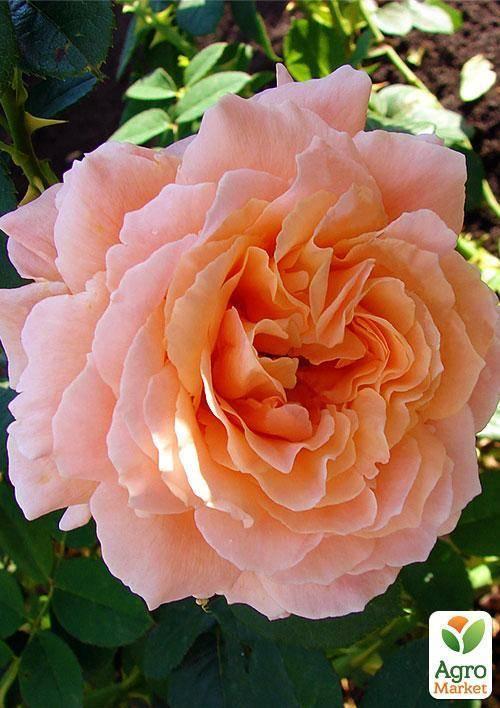 Описание плетистого сорта розы полька 91 французской селекции: посадка и уход