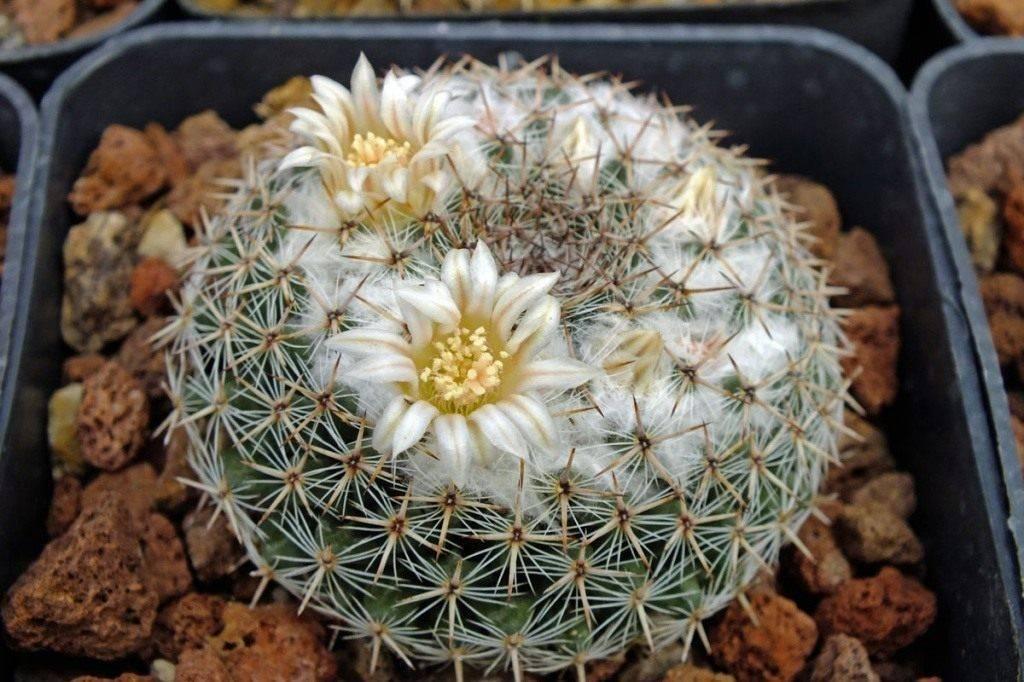 «cнежные» кактусы в интерьере