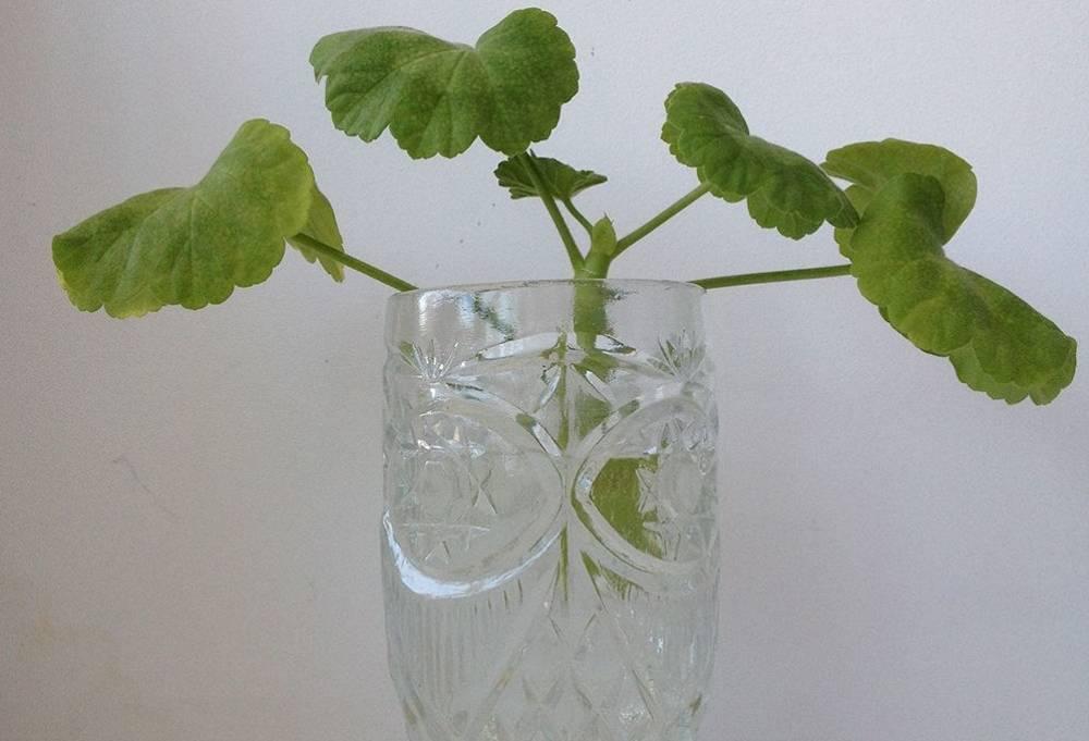 Как посадить герань – выращивание из черенков в домашних условиях