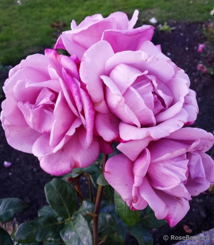 Роза муди блюз