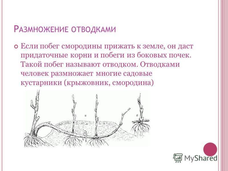 Посадка крыжовника весной в открытый грунт: сроки и правила