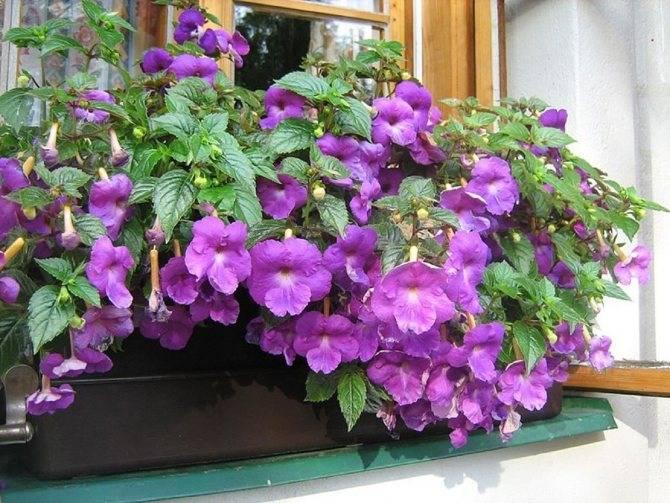 Уход за ахименесом: размножение цветка в домашних условиях, не цветет что делать