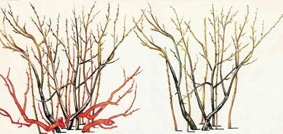 Как правильно стричь миндальное дерево