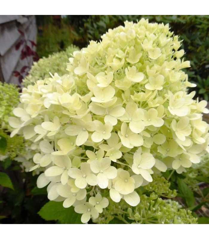 Гортензия мэджикал кэндл (hydrangea paniculata magical candle) — описание