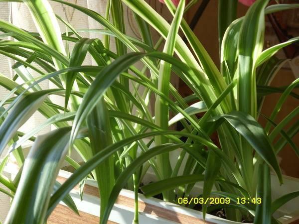 Пентас цветок: уход в домашних условиях и варианты выращивания из семян