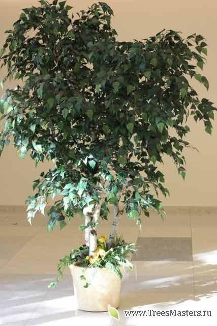 Как называется комнатное растение похожее на березку