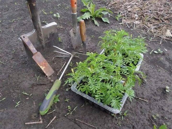 Когда сеять бархатцы на рассаду: правила выращивание и уход за рассадой