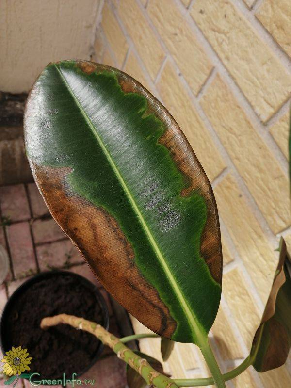 Почему у кротона опадают листья