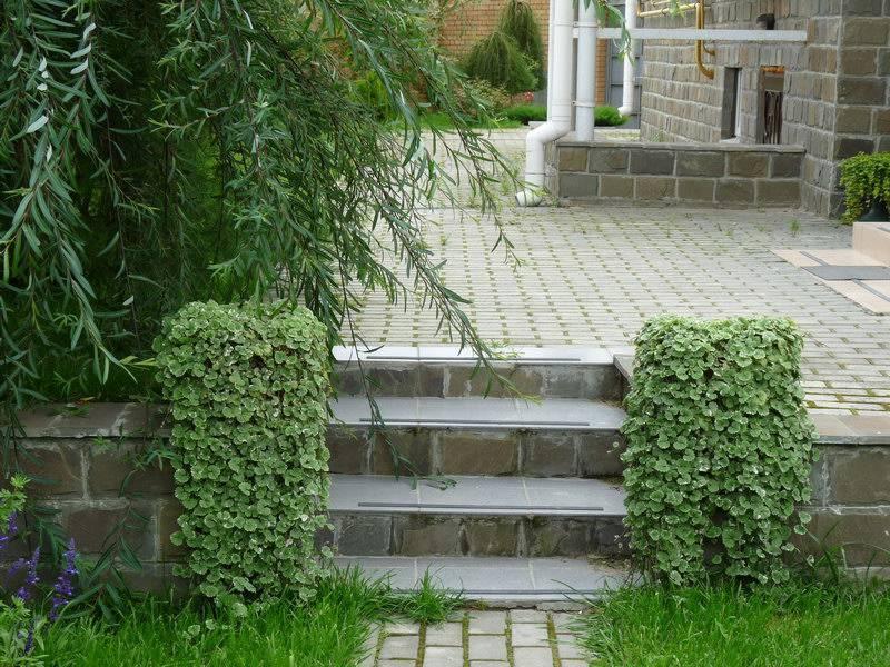Будра плющевидная — декоративная почвопокрывная трава в саду и дома