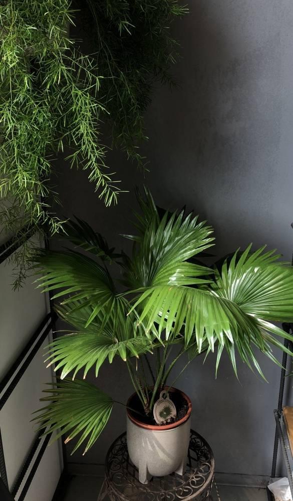 Ливистона – livistona (пальма)