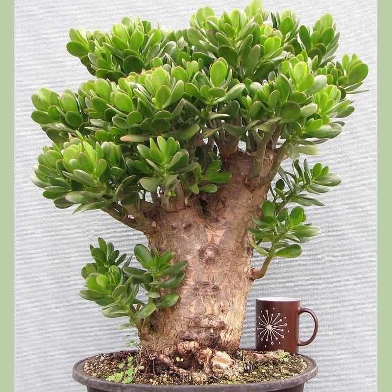 Как вырастить денежное дерево— толстянку, уход в домашних условиях и цветение