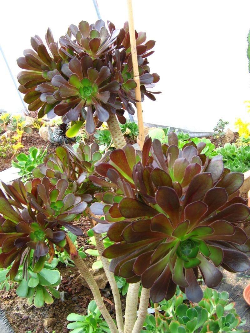 Гардения жасминовидная — как ухаживать за цветком