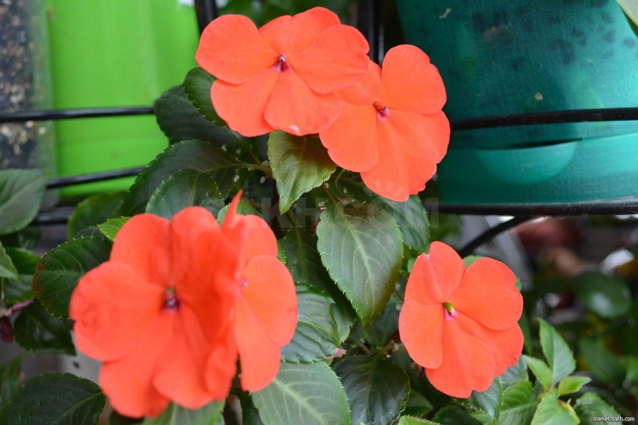 Ампельная клубника и земляника в кашпо: сорта, уход и выращивание