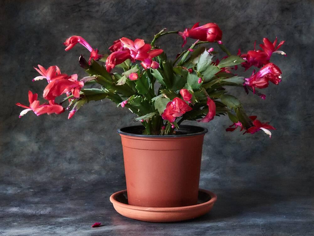 Цветок шлюмбергера; уход в домашних условиях, размножение и фото