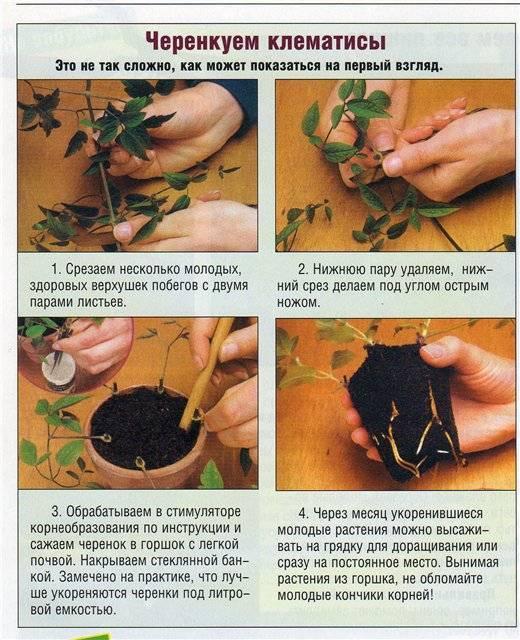 Мальва махровая: описание, рекомендации по выращиванию и размножению