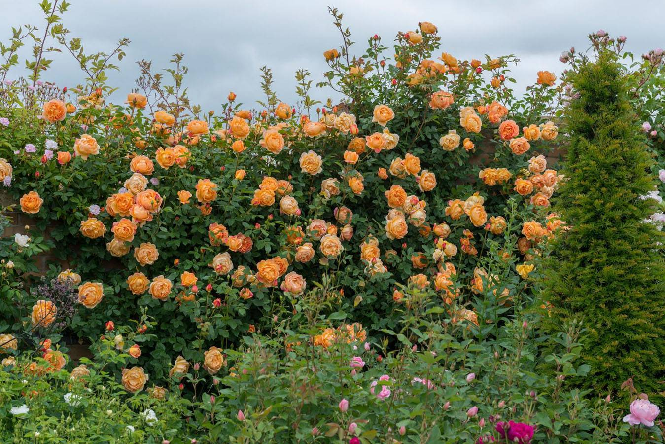 Садовая роза аганжемент: описание и фото сорта, особенности цветения, правила ухода, размножение и другие нюансы