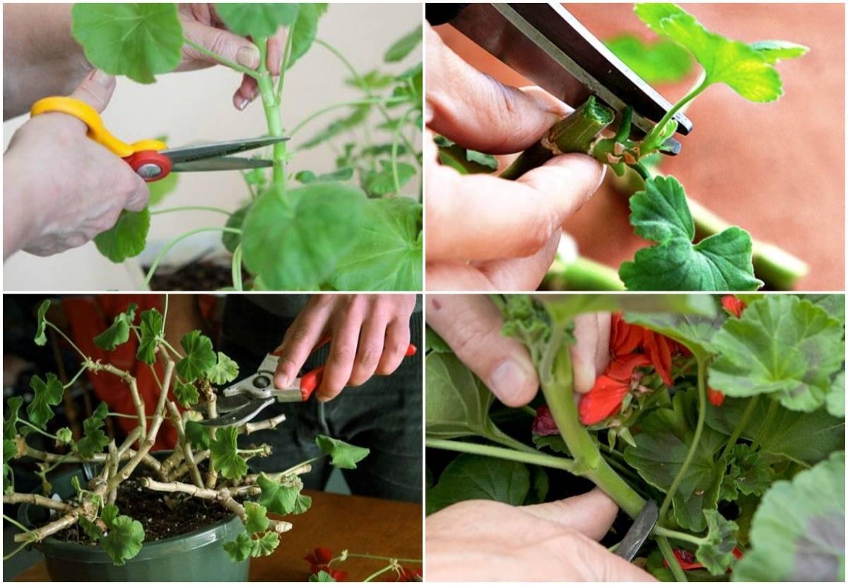 Обрезка герани для пышного цветения (20 фото): как правильно обрезать пеларгонию в домашних условиях весной, чтобы она цвела и была пушистой? можно ли прищипывать цветок зимой в январе?