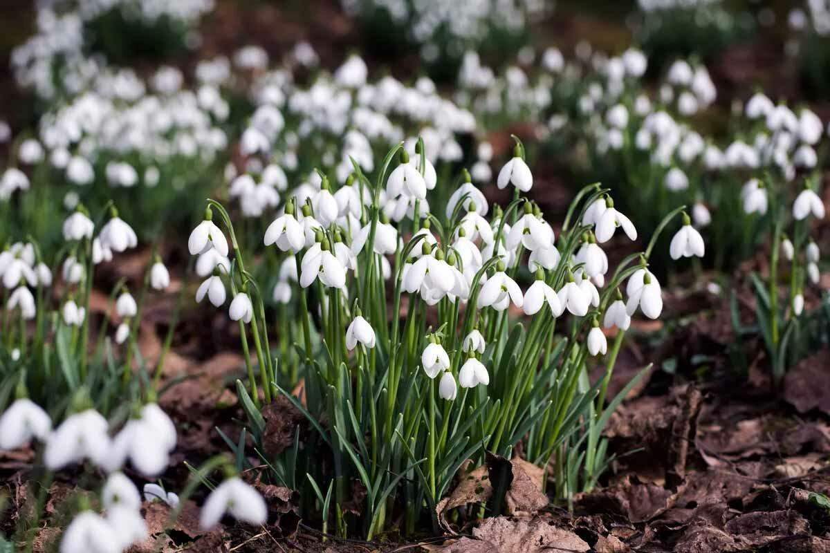 Первые весенние цветы подснежники: фото и описание, уход и выращивание в открытом грунте