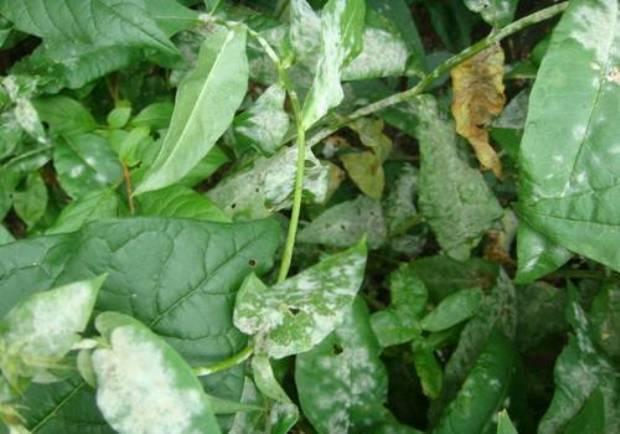 Болезни и вредители флоксов (26 фото): описание и способы их лечения. что делать, если желтеют нижние листья?