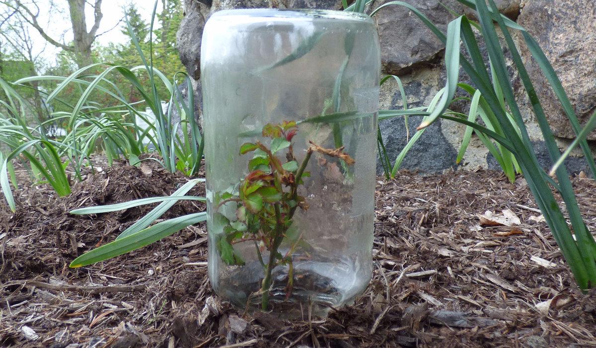 Как размножить хойю в домашних условиях черенками, от листа или семенами