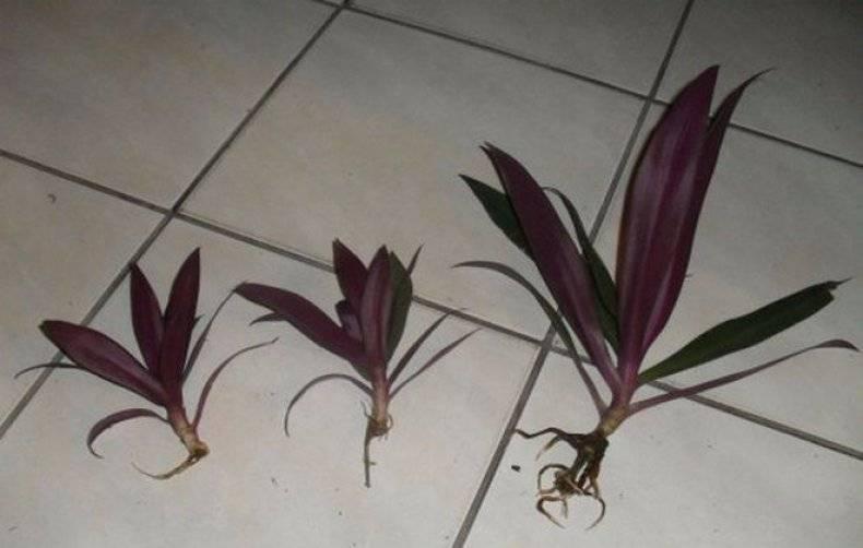 Как ухаживать за каланхоэ блоссфельда в домашних условиях: применение листьев