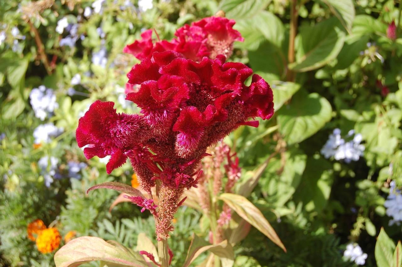 Целозия (68 фото): целозии серебристые и другие виды и сорта цветов. посадка и уход за ними в открытом грунте на клумбах и в горшке в домашних условиях