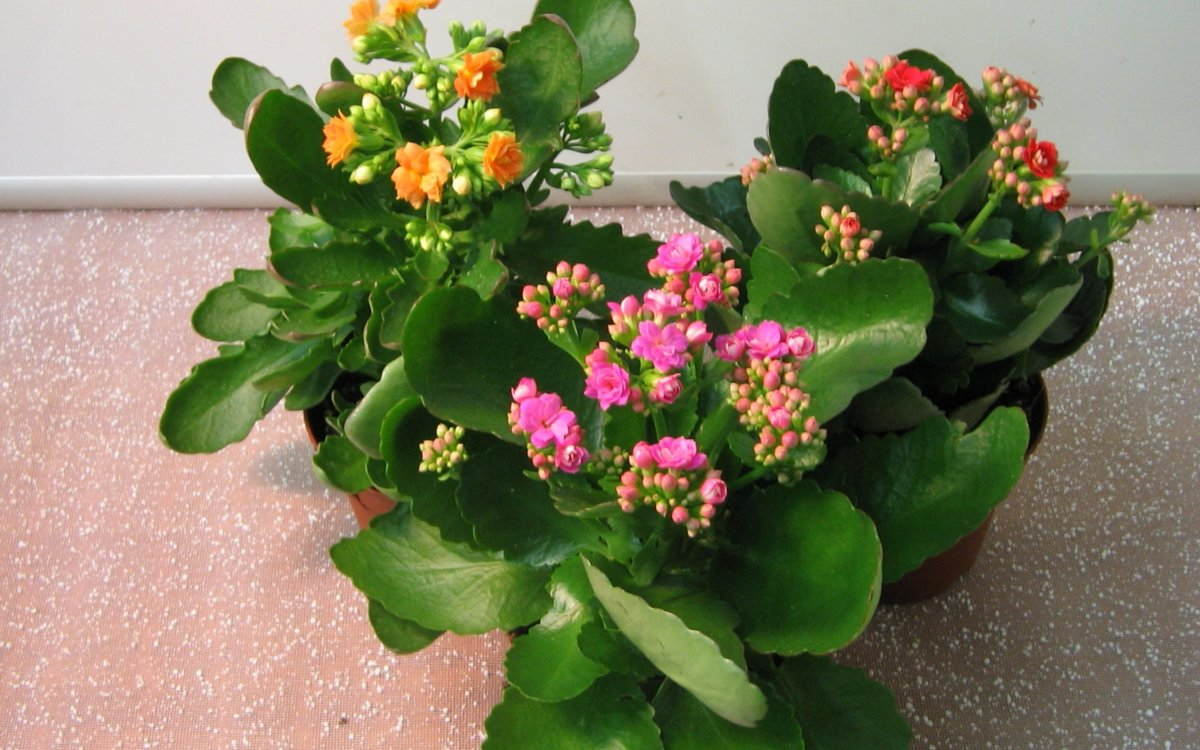 Комнатные цветы с красными цветками и фото домашних растений с цветами красного цвета