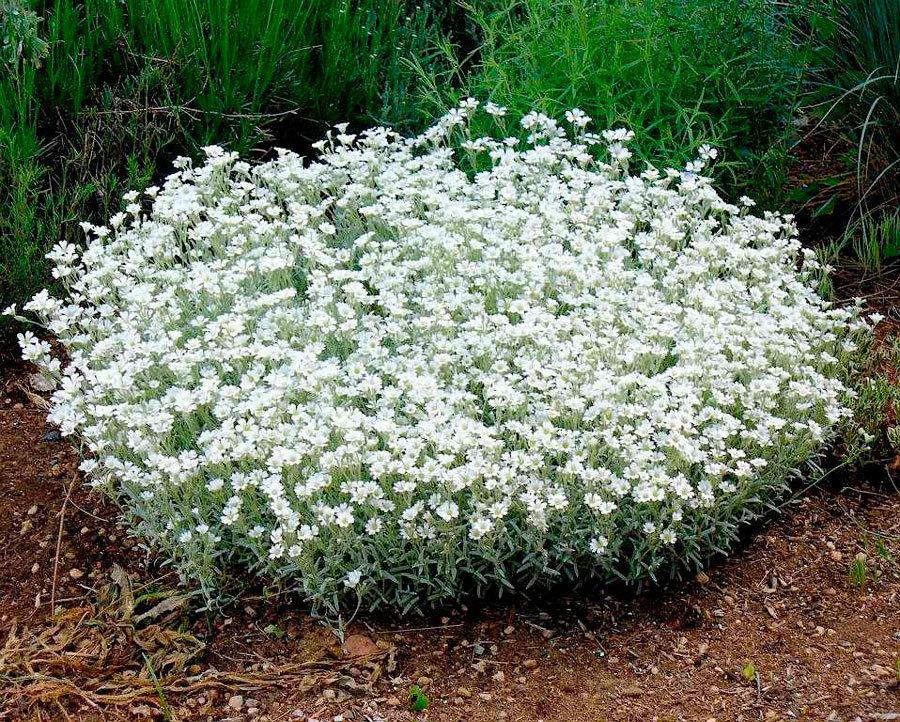 Почвопокровные однолетние и многолетние цветы