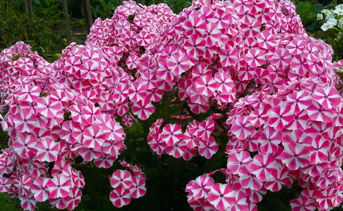 Цветы флоксы: сорта, как выглядит, виды