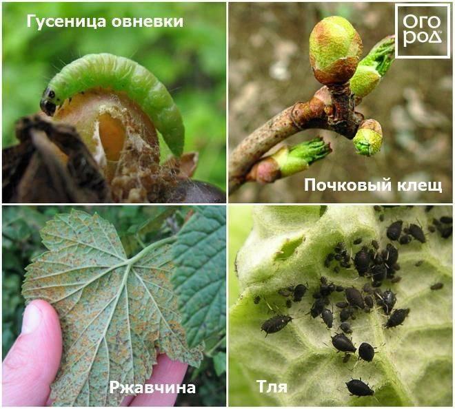 Опадают листья и ягоды крыжовника? причины и методы борьбы с проблемой опадающего крыжовника