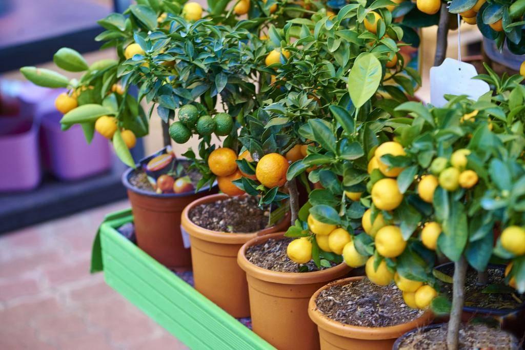 Лимон: особенности, уход и размножение