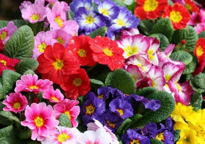 Все о периоде цветения лаванды: когда зацветают и сколько времени цветут растения