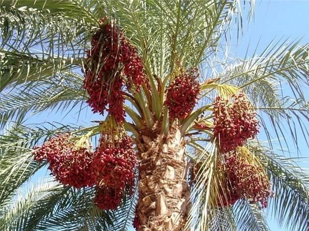 Полезные свойства фрукта унаби, интересные советы по применению, а также противопоказания