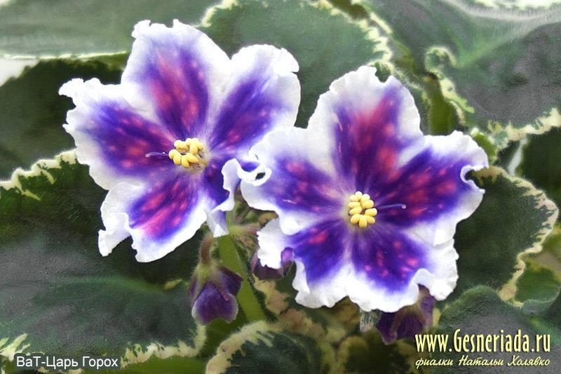 Фиалка царь горох — одна из лучших сортов ват, размножение сенполий