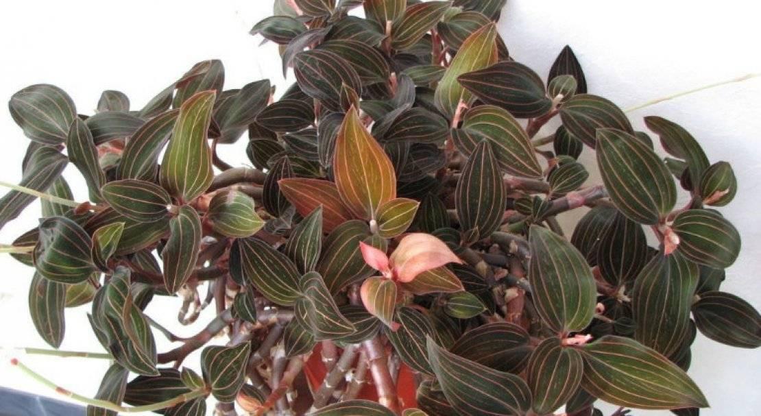 Вечнозеленая орхидея драгоценная лудизия: описание сорта и уход в домашних условиях